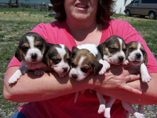Newborn Beagles | www.pixshark.com - Images Galleries With ...